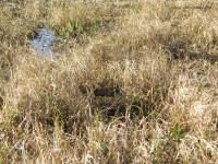 Un alligator se cache dans cette photo